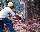 Maflops, a forest management company operating close to Highway BR-163, practices sustainable forestry. If carried out the right way, sustainable forestry activities can generate income, provide long-term timber supplies and ensure that forests continue to be ecologically functional.