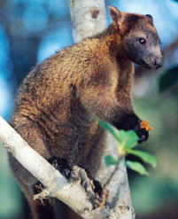 Bennett's tree-kangaroo (Dendrolagus bennettianus) on the branch of a tree. The Bennett's ... / ©: WWF-Canon / Martin Harvey
