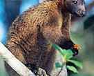 Bennett's tree-kangaroo (Dendrolagus bennettianus) on the branch of a tree. The Bennett's tree-kangaroo is a rare and vulnerable Arboreal marsupial, Australia.