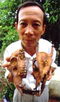 Researcher holding two skulls of the never seen Truong Son muntjac (&lt;i&gt;Truong Son ... / &copy;: WWF-UK