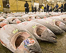 Mediterranean bluefin tuna  highly prized around the world, especially in Japan for sushi and sashimi  has been under increasing pressure from overfishing. Display of frozen tunas to be auctioned at the Tsukiji fish market, Tokyo, Japan.