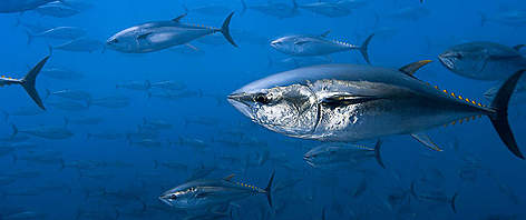 Northern bluefin tuna (Thunnus thynnus) off the coast of Spain. rel=