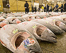 Display of frozen tuna to be auctioned at the Tsukiji fish market, Tokyo, Japan. March 2006. Bluefin tuna in the Mediterranean is at risk of commercial and biological extinction.