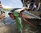 Jacana tuna fish landing. Puerto Princesa, Palawan, Philippines.