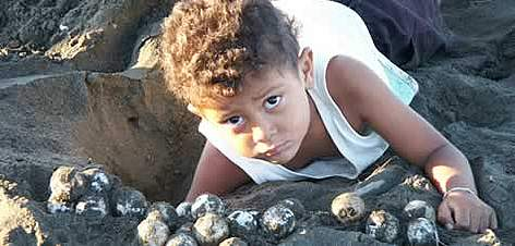 A child helps collecting olive ridley turtle (&lt;i&gt;Lepidochelys olivacea&lt;/i&gt;) eggs, ... rel=
