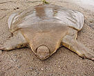 An Asian giant softshell turtle (Pelochelys cantorii) caught by a fisherman in Lao PDR's Attapeu Province.