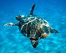 A loggerhead turtle (<i>Caretta caretta</i>) swimming in the Mediterranean Sea.