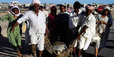 Green turtle Rescue operation, Turtle having lost its way back to the sea, carried by villagers. ... rel=