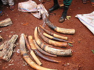 Elephant tusks taken from a poacher's sack and spread on the ground. / &copy;: WWF / Peter Ngea