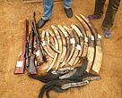 Ivory tusks, elephant tails and weapons seized from poachers who were sentenced to 30 months in prison.