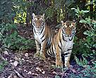 Two tigers, Kanha National Park, India