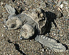 The two-headed olive ridley turtle hatchling discovered on a beach in Costa Rica.