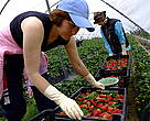 Changes to strawberry cultivation will help restore habitats and precious groundwater supplies.