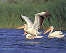 The Danube Delta is the breeding ground for large colonies of Great White Pelica