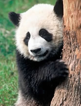 Giant panda (&lt;i&gt;Ailuropoda melanoleuca&lt;/i&gt;). / &copy;: WWF-Canon / Michel GUNTHER