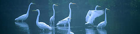 Great white heron <i>Casmerodius albus</i> in morning fog, Mrazek Pond, Everglades ... rel=