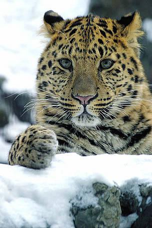Leopard Cat Making Rattling Noise