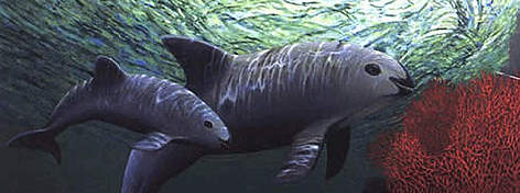 Vaquita porpoises are so rare there are nearly no photos of them. This is an artist's rendering. rel=