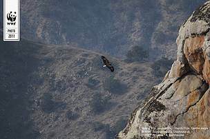 Golden Eagle in Vayots Dzor