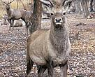 One of the deer released in October 2007