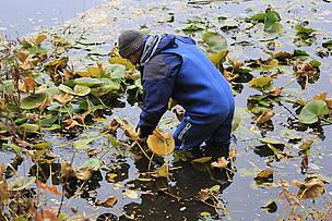 Бялата водна лилия отново се завръща в в езерата на остров Персин / ©: WWF