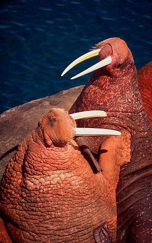 Pacific walrus (Odobenus rosmarus divergens). / &copy;: WWF-Canon / Kevin Schafer