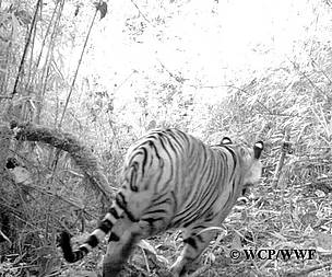 Tiger caught on camera at Shakchema area of Jongthang under Nubi gewog in Trongsa.