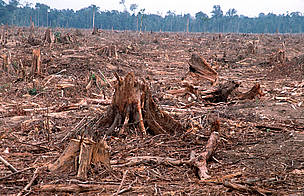 Illegal logging for paper industry and forest clearing  for Palm oil plantation. TESSO NILO Plantation Riau, Sumatra, Indonesia.