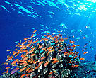 Anthias under sunbeams. Swarms of anthias shelter near coral outcroppings and feed in the passing current. Fiji