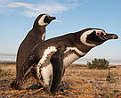 Magellanic or jackass penguins (Spheniscus magellanicus)  Colony at Punta Tumbo counts hundreds of thousands of individuals.  Tourist Site.  Chubut Province, Patagonia, Argentina.
