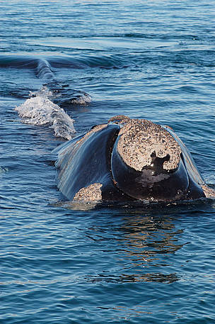 Southern right whale  Valds Peninsula, Chubut Province, Patagonia, Argentina.
