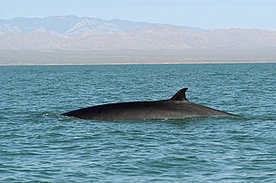 Fin whale, Balaenoptera physalus surfacing.