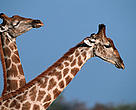 Giraffe pair, Africa.