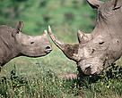 Southern white rhinoceros adult and calf. The white rhino is listed by the IUCN and all other conservation groups as endangered. Many game wardens and researchers routinely risk their lives to help protect this species from poachers. New and innovative management programs are being developed to help save this magnificent creature. Just over 4000 white rhinos exist in the wild today. Southern Africa and East Africa.