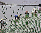 Rice cultivating, Dongting Lake, Hunan Province, China