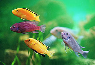 Because of their bright colours and peculiar behaviour, Malawi cichlids are popular among aquarium ... / &copy;: Helena Telknranta / WWF-Canon