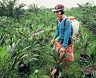 The growing demand for palm oil is adding to the already severe pressure on remaining rainforest areas of the world.