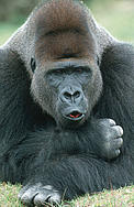 Eastern lowland gorilla (Gorilla beringei graueri), Silverback male. Range: Eastern lowland areas ... / &copy;: Martin Harvey / WWF-Canon