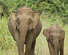 The mysterious Borneo pigmy elephant - not native to Borneo, not related to Asia's existing elephant species