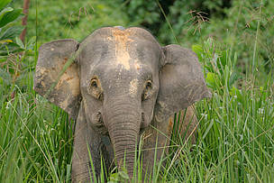 "Borneo pygmy elephant (Elephas maximus borneensis) ""Roselis"" with satellite collar in the ... / ©: A. Christy Williams / WWF-Canon"