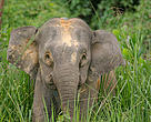 Borneo pygmy elephant (Elephas maximus borneensis) &quot;Roselis&quot; with satellite collar in the Danum Valley Conservation Area, Sabah North Borneo, Malaysia.