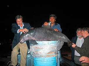 Activists bringing a dead vaquita (Phocoena sinus) to the third meeting of CIRVA in Ensenada, Baja ... / &copy;: WWF-US / Eugene Lee
