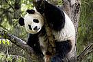 CHINA - Giant panda protection network.