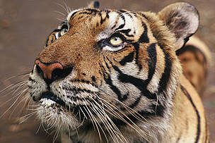 Tiger (Panthera tigris tigris) / &copy;: Adam OSWELL / WWF-Canon
