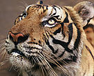 Tiger (Panthera tigris tigris)