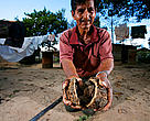 Farmer's hands holding sustainably harvested Brazil nut ( Bertholletia excelsa), near the interoceanica highway, Per.