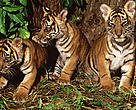 Panthera tigris sumatrae Sumatran tiger Three young cubs.