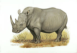 White rhinoceros (Ceratotherium simum) / &copy;: WWF-Canon / Helmut Diller