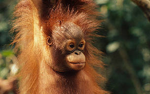 Bornean orang-utan, Sarawak (Borneo), Malaysia. / &copy;: Michel TERRETTAZ / WWF-Canon
