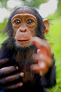 Mapeewa, a sixth month old orphaned, baby, chimpanzee who was rescued from a Congolese Govenrment ... / &copy;: Kate Holt / WWF-UK
